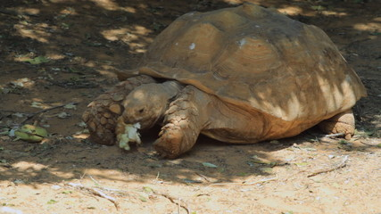 Big turtle eating in the safari. Israel