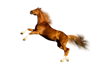 Chestnut horse isolated on white background