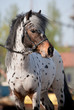 Appaloosa pony portrait in summer.