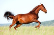 Chestnut horse runs gallop in field