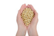 Agricultural concept, isolated hands with soybean