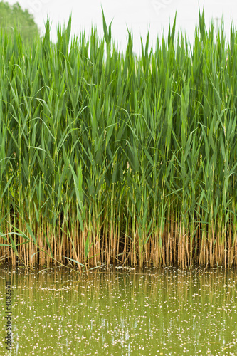 Many reed stems with water