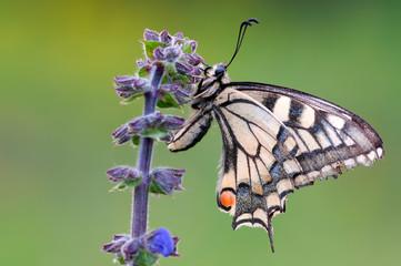 Macaone - Papilio machaon Linnaeus