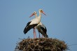 White Stork - couple in the nest