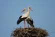 White Stork - couple in the nest