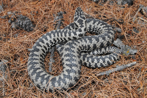 European adder (Vipera berus) - male specimen