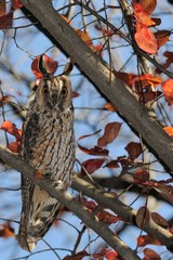 long eared owl (Asio otus) and autumn colors