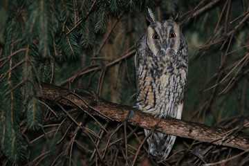 long eared owl at rest in a conifer