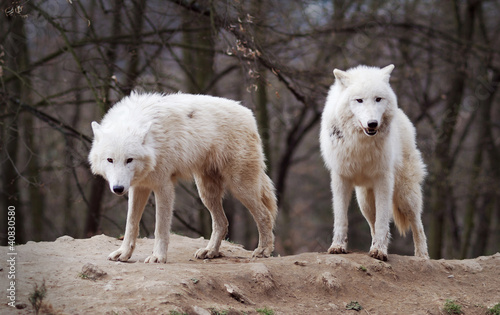 Fotobehang Wolf Two Arctic Wolves