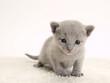 ロシアンブルーの仔猫