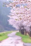 Fototapety 桜並木