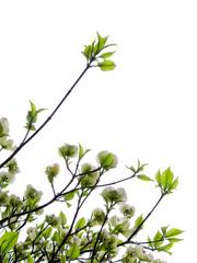 花水木/白い花/白バック(縦位置)