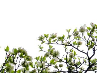 花水木/白い花/白バック