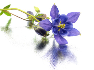 blue columbine - aquilegia flowers