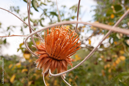 Dried Protea hanging in a garden