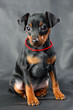 Miniature Pinscher Puppy