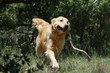 golden retriever portant son bout de bois