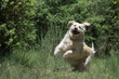 beautiful jump of the dog golden retriever