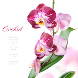 Fototapety Purple orchid