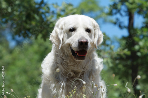 portrait du golden retriever