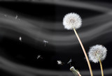 dandelion flowers (Taraxacum officinale)