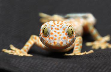 Gecko smile on black background