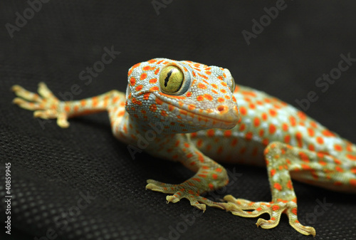 Gecko looking camera on black background