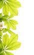 Fresh chestnut leafs