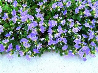 Australian Fan Flower 2