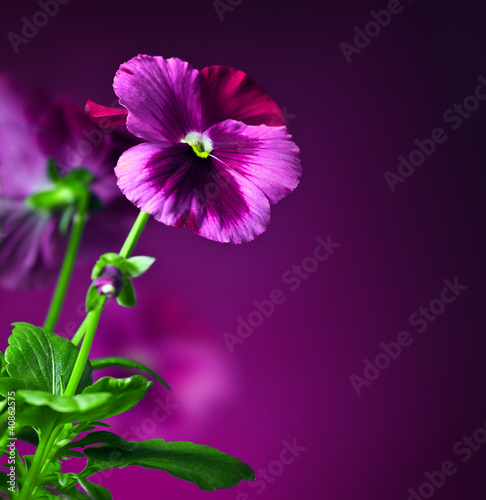 Pansy flowers border