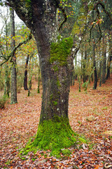 Roble en el bosque, otoño