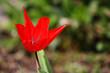 Wild natural tulip wide open