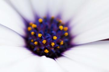 Margherita - flower - marco