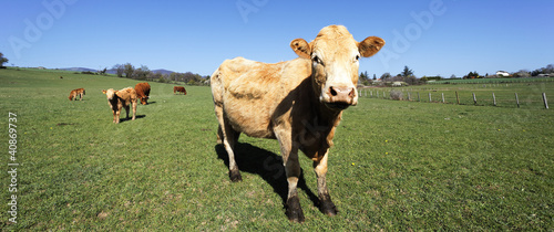 panoramic cow view