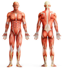 anatomy, muscles