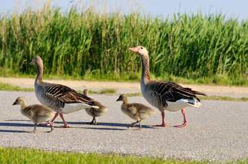 family of geese walking on the roadside