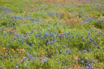 Bluebonnets and Indian Painbrushes