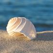 Sommerurlaub, Strandgut, Meeresschnecke, Tonna Allium