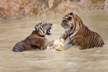 tigers play