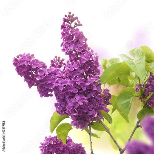 Aluminium Lilac lilac flowers in spring - fleurs de lilas au printemps