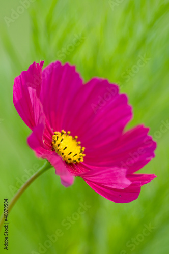 Summer garden - beautiful cosmos flower