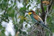 Merops apiaster and prey