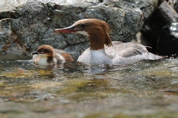 Goosander (Mergus merganser) and duckling