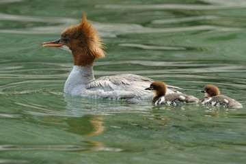 Goosander (Mergus merganser) and ducklings