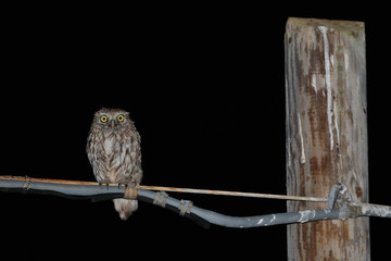 wild Little Owl on the high voltage cable
