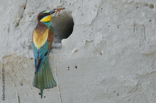 European Bee-eater (Merops apiaster) at the nest