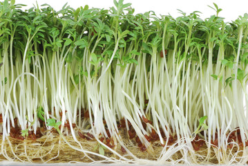 Isolated Watercress Sprouts