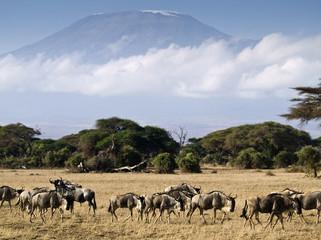 Ñus y el Kilimanjaro
