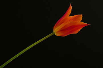 single orange tulip on black