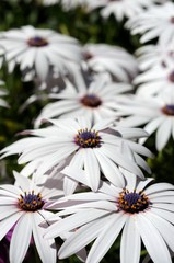 White Osteospermum © Arena Photo UK